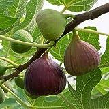 "Pianta di Fichi Fico""Ficus Carica Brown Turkey"" vaso ø14 cm"