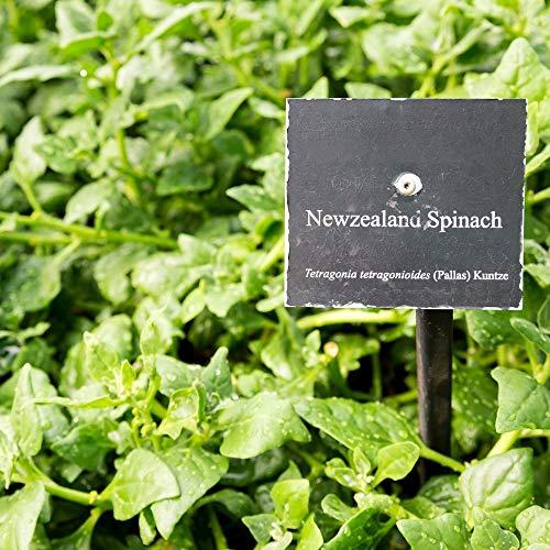 Semi di spinaci della Nuova Zelanda - Espansa di Tetragonia - 70 semi - 70 semi