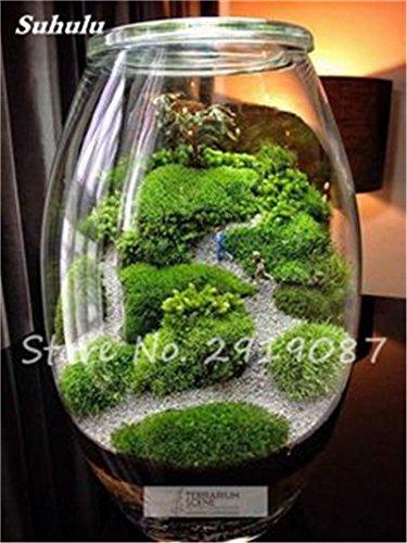 100 Pcs rares mousse verte Graines exotiques Graines Bonsai Moss Belle Moss Boule décorative Jardin créatif herbe Graines Plante en pot 2