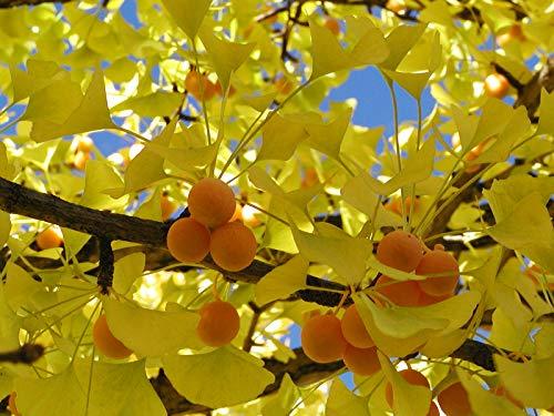 Heirloom organiques 5 pcs / sac graines Ginkgo biloba gingko Maidenhair NOIX Bonsaï cultivées de pot de semences pour le jardin de la maison 2