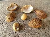 10 de cacahuete, (Vigna subterranea) las semillas, de la herencia, extremadamente raros, De África