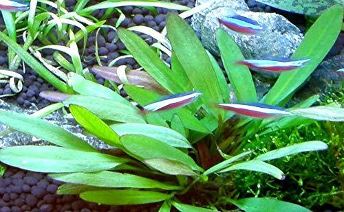 6 Bund – ca. 40 Aquariumpflanzen + Dünger, algenmindern, bunte Unterwasserwelt – Mühlan - 5