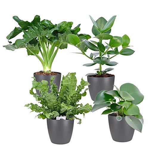 "Zimmerpflanzen: Nestfarn ""Crispy Wave"", Balsamapfel ""Princess"", Pfeilwurz ""Burle-Marxii"", Glückstaler ""Raindrop"", Höhe ca. 25 – 30 cm, Topf-Ø ca. 12 cm mit 4 Elho-Töpfe"