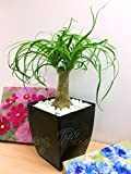 Life Improver 1 Evergreen Elephant's Foot (Ponytail) Table Plant @ Gloss Black Milano Square Pot