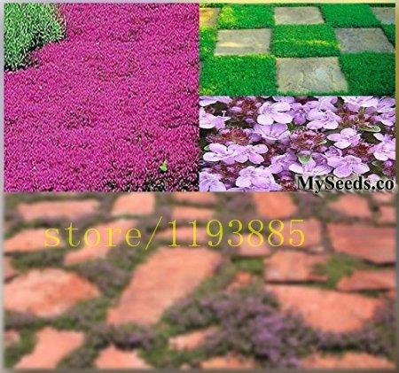 500pcs / sac Creeping Graines THYM Herb Thymus serpyllum ~ Butterflies love it