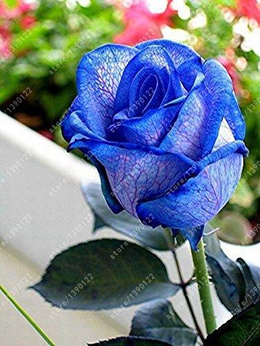 200pcs / sac rare graines rose multi-couleur rose graines de fleurs bonsaï graines bonsaïs rose noire balcon plante rare pour la maison en pot jardin 8