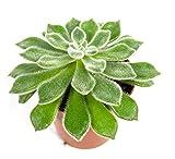Echeveria Setosa, Zimmerpflanze im 8,5 cm Topf, Sukkulente, Höhe ca. 10 cm