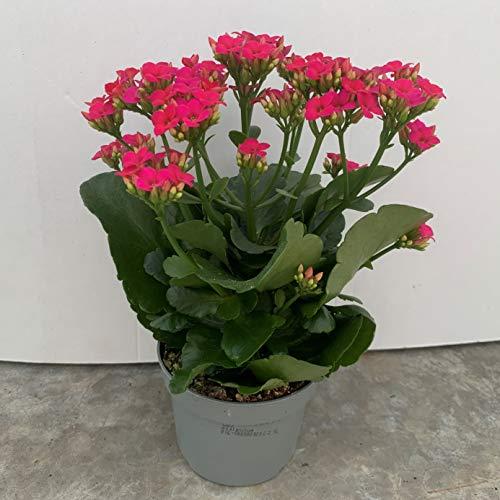 Kalanchoe - PACK 6 unidades - maceta 10,5cm. - altura total aprox. 20cm. - planta viva - (envíos solo a península)
