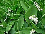20PCS / BAG Bianco Mughetto (Convallaria majalis) Semi, semi rari fiore esotico