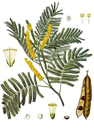 Acacia Catechu, seltene Akazie, 10 Samen