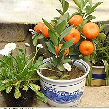 Fash Lady 60 pcs/sac Vente Chaude En Pot De Fruits Arbres Délicieux Kumquat Graines Juicy Orange Bonsaï Mandarine Plante pour Balcon Patio Décor