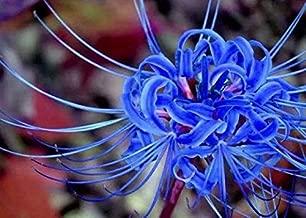 Blue Spider Lily Bulbs - 4 Bulbs Lycoris Radiata Bulbs Garden Landscape Home Potted Bonsai Perennials Lycoris Flowers