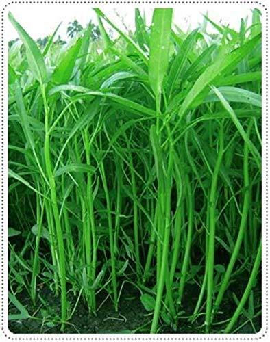 PLAT FIRM GRAINES DE GERMINATION: Liseron semences de légumes Thai Ökologischer Pflanzenbau Asian Garden - SEEDS Morning Glory