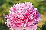 """Paeonia lactiflora """"Bowl Of Beauty"""" Peony Semi, 5 semi / pacchetto, bonsai piante fiorite Anemone fiorito fiore del Peony"""