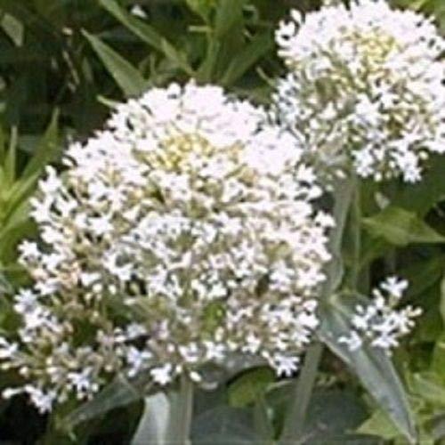 40 + semillas/paquete de semillas de flores de barba blanca de Júpiter/semillas de flores bonsai de decoración de jardín perenne