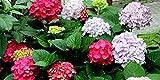 Yumhouse Semillas de Flores para Jardin,Semillas de Hortensia Bordado de Verano sin fin-30 cápsulas_Red,Semillas de Flores para Jardin