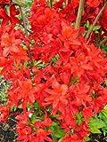 leuchtend rot blühende Garten Azalee Rhododendron luteum Fireball 30 - 40 cm hoch im 4 Liter Pflanzcontainer