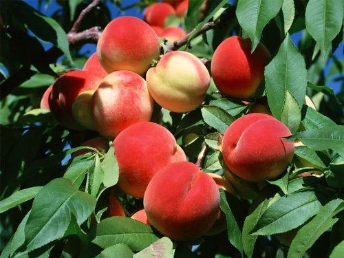 Pinkdose SD0531 Peach Seeds, Autumn Red Peach Fruit Seeds, Peach Tree Seed (10 Seeds)