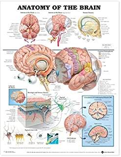 Best anatomy of the brain anatomical chart Reviews