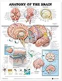 Anatomy of the Brain Anatomical Chart - Anatomical Chart Company