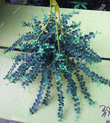 Colorés suspendus Parthenocissus tricuspidata semences vivaces herbes de fleurs Pot plantes anti-radiations des rayons ultraviolets 50 Pcs 14