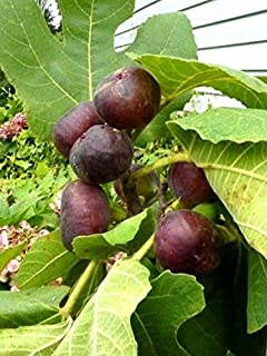 Best chicago hardy fig tree for sale Reviews