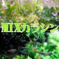 (熱帯魚)MIX カラシン 種類おまかせ <15匹>[生体]