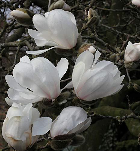 Sternmagnolie Merrill 60-80cm - Magnolia loebneri