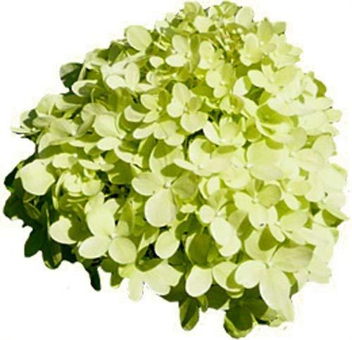 Rispenhortensie - LIMELIGHT - Pflanze Hortensie mit grünen Blüten