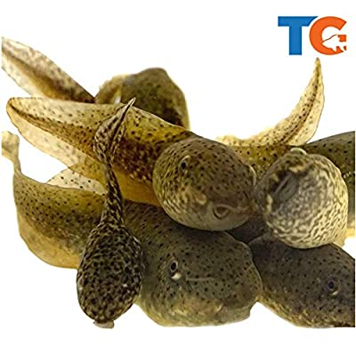 Toledo Goldfish Live Tadpoles for Ponds, Aquariums or Tanks – USA Born and Raised – Live Arrival Guarantee