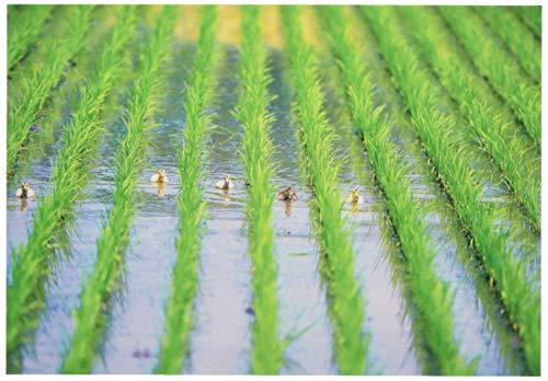 ピンナップ ポストカード 10+1枚 NP416 水田 合鴨 有機農業