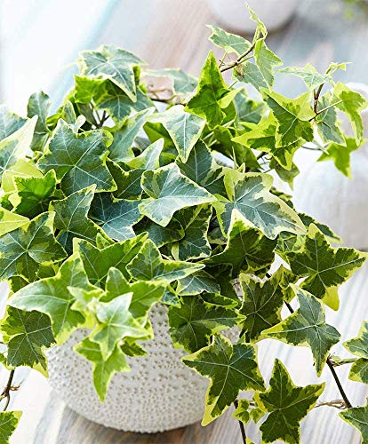 """AMERICAN PLANT EXCHANGE English Ivy Variegated Easy Care Trailing Vine Live Plant, 6"""" Pot, Indoor/Outdoor Air Purifier"""