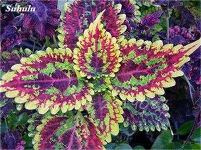 Janpanse Bonsai coleus Graines 50 Pcs Plantes feuillage couleur parfait arc Graines Belle Mixed Flower Garden plante Sement 20