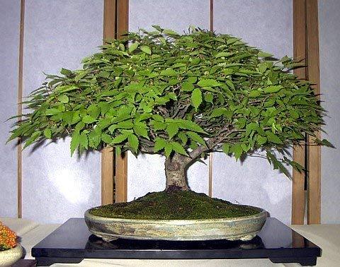 MIYU Japanese Zelkova Bonsai - 25 Seeds