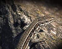 数字で描くトカゲ爬虫類の色Diyリビングルーム数字で着色装飾アート家の装飾アート画像油絵の具色原稿 カスタマイズ可能 40x50cmフレームなし