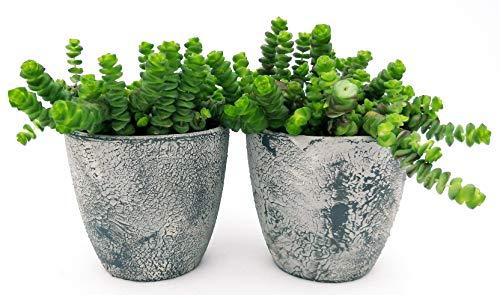 Crassula HOTTENTOT Jade-Halskette, 2 Pflanzen im rustikalen Keramikvase, Topf 11 cm, echte Pflanzen