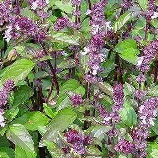 Outsidepride Basil Cinnamon Ocimum Basilicum Herb Plant Seed - 5000 Seeds