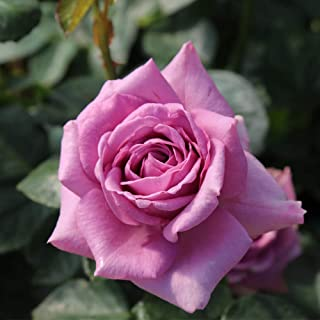 Own-Root One Gallon Quicksilver Climbing Rose by Heirloom Roses