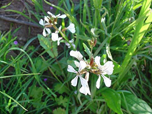 100 Semillas de Rúcula (Eruca Sativa)