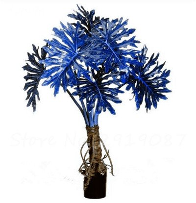 De nouvelles semences 100 Pcs Mixed Philodendron Graines couleur parfaite Plantes d'intérieur Anti radiations Absorber arbre poussière Jardinerie Bonsai 18