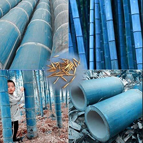 ADOLENB Garten Samen - 100 stücke Bunte Bambus Samen China Moso Bambus Pflanzen Samen Saatgut Zierpflanzen winterharte bunte Samen für Ihre Garten