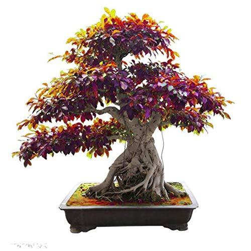 Zuiaigw 5 Pcs Peepal Ficus Religiosa Bonsai Family Moraceae Perennial Sacred Fig Bonsai Semi-Evergreen Bodhi Tree Widely Cultivated