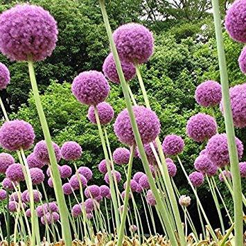100 samen/pack Lila Riesen Allium Giganteum Schöne Blumensamen Garten Pflanze die knospungsrate 95% seltene blume für kind