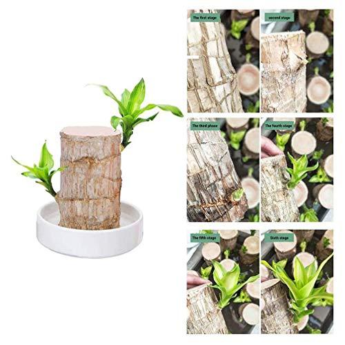 Mini Brazil Lucky Wood - Hydroponic Potted Plant Stump Small Mini Plant Indoor Office Desktop Plant - Piante in Vaso in Legno Brasiliano, Mini Brasile Lucky Badan Wood Idroponica Pianta da