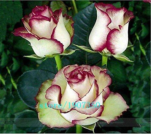 1Paket Profi, 100Samen/Paket, neue Lumià ¨ re Viridiflora mit Purple Edge Rosa Bush flower Seed