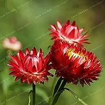 SVI Fresh 100 pcs Helichrysum Bracteatum Flower Seeds for Planting Dark red