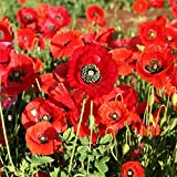 Corn Poppy 100 Seeds, Brilliant RED Flower, Beautiful RED Blooms, Country Creek Acres