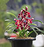 Live Orchid Plants,Easy to Care Live Indoor Plants Cymbidium Suitable...