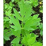 Blumixx Stauden Levisticum officinale – Mortero en maceta de 0,5 litros, color amarillo y verde floreciente