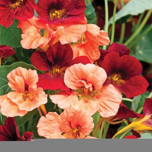 Authentique! New Garden plantes fraîches 20pcs mélange coloré Tropaeolum majus capucine Graines Facile Plantes tenture Plantation de fleurs G17